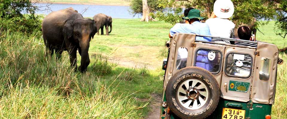 World's largest Asian Elephant gatherings at Minneriya National Park