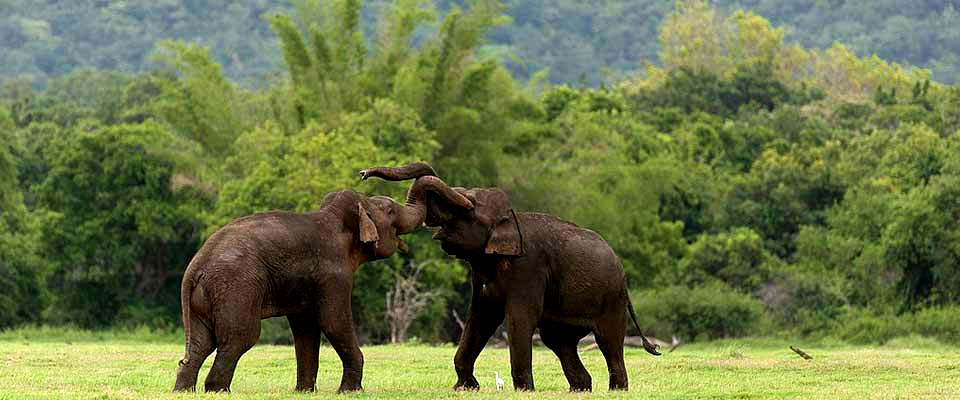 Bull elephants clash at Minneriya