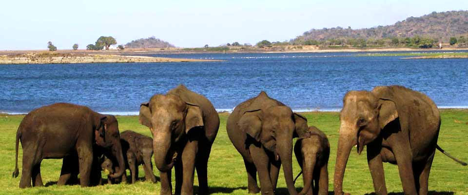 Elephants feeding at Minneriya
