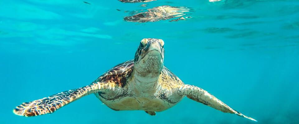 Loggerhead turtles in Sri Lanka