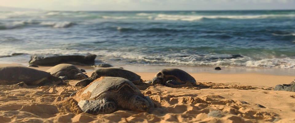 Turtles nesting in Kosgoda, Sri Lanka